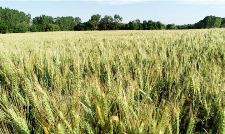 للعام الثالث.. العراق يعلن تحقيق الاكتفاء الذاتي من القمح